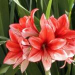 Амариллис: уход и выращивание в домашних условиях