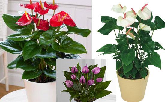 Разнообразие расцветок антуриума