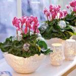 Цикламен: уход и выращивание в домашних условиях