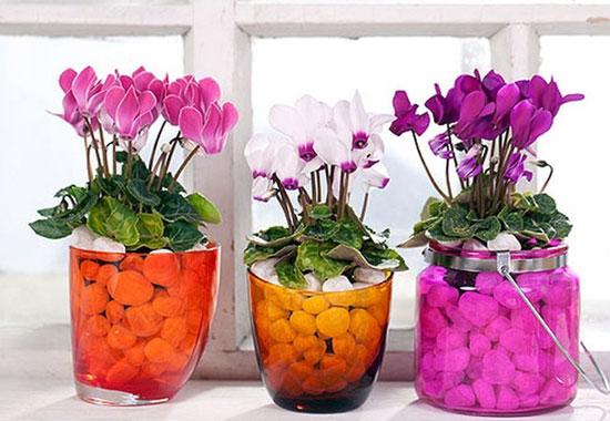 Цикламен для выращивания в домашних условиях