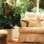 Как вырастить антуриум в домашних условиях