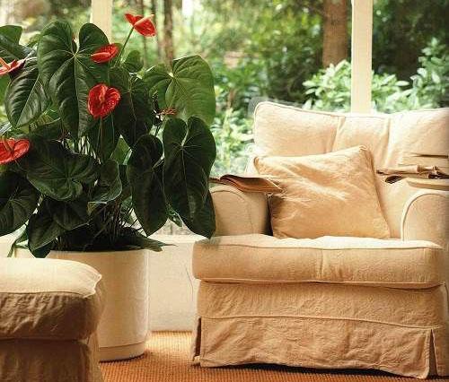 Антуриум: уход в домашних условиях