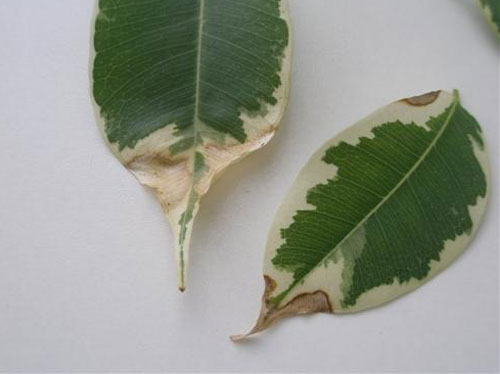 Высыхание листьев у фикуса