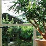 Юкка: выращивание и размножение в домашних условиях