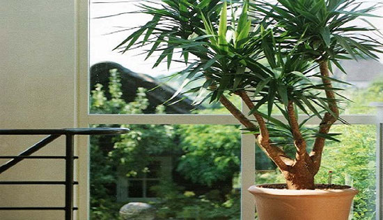 домашний уход за пальмой драцена в домашних условиях