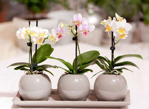 Уход за орхидеями в домашних условиях фаленопсис