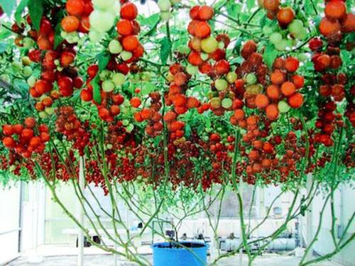 Выращивание томатов на балконе - не сложная задача, если соблюдать технологию ухода
