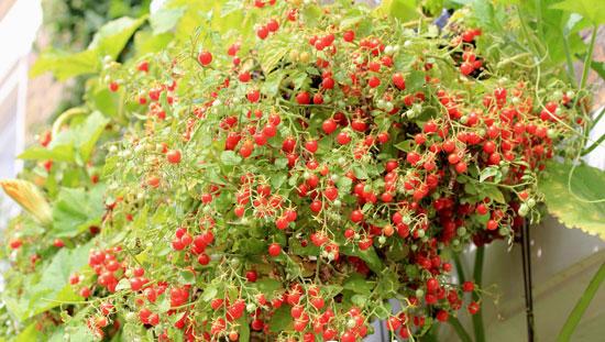 Помидоры черри - отличный сорт для выращивания на балконе