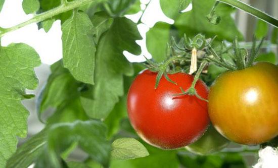 Сорта томатов для выращивания на балконе