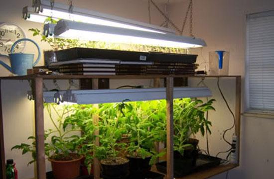 Поливать рассаду не нужно, если будет нормальная влажность в помещении