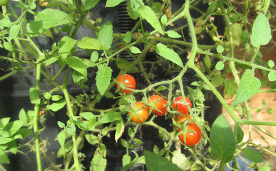 Уход за помидорами на балконе не сложный, главное изучить информацию